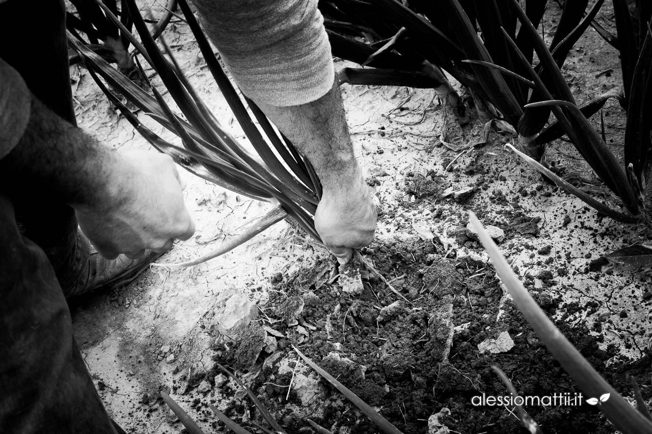 Fotografie all'azienda agricola Orto di Fogneto (coltivazione della cipolla rossa di Certaldo)